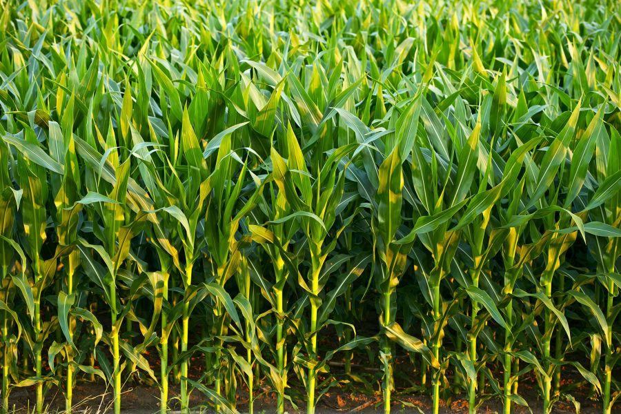 Agrinvest diz que Brasil pode exportar menos soja e ter aceleração do milho
